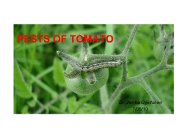 Insect pests of tomato