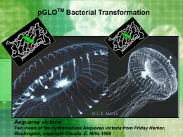 pGLO TM Bacterial Transformation