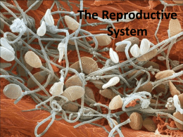 The Reproductive System - College of the Canyons