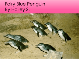 Fairy Blue Penguin By Hailey Satter