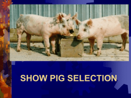 WEBER COUNTY 4-H SHOW PIG SELECTION