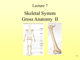 Lecture 7  Skeletal System Gross Anatomy II  7-1 Appendicular Skeleton • Girdles – Pectoral or shoulder – Pelvic  • Upper Limbs – – – –  Arm (brachial) Forearm (antebrachial) Wrist (carpal) Hand (manus)  • Lower Limbs –